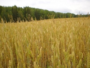 WheatGrowth
